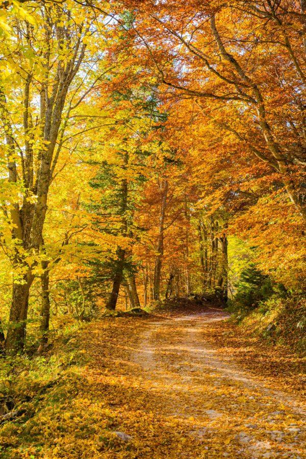 Belles couleurs dorées dans les forêts du Vercors