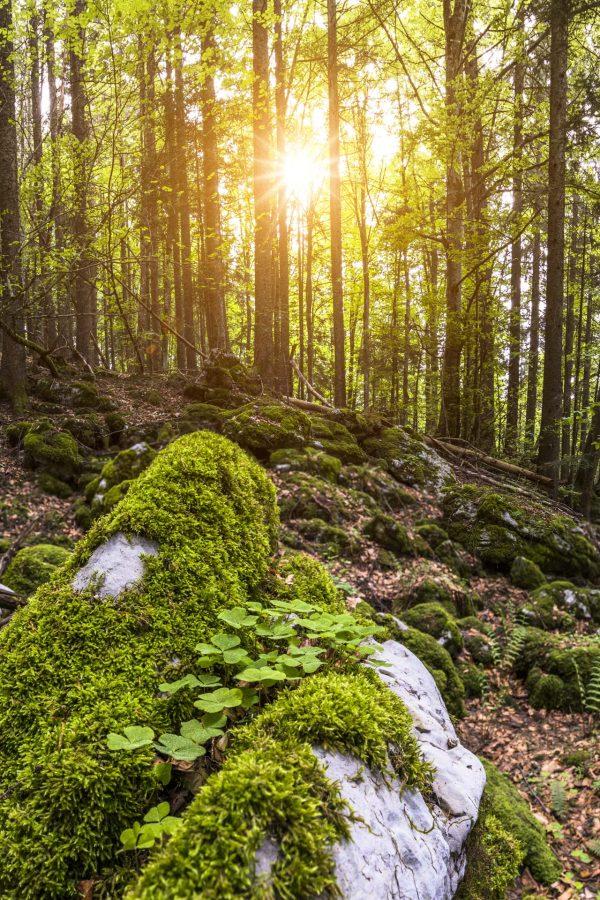 Retour du printemps et du soleil dans les forets du massif de la Chartreuse